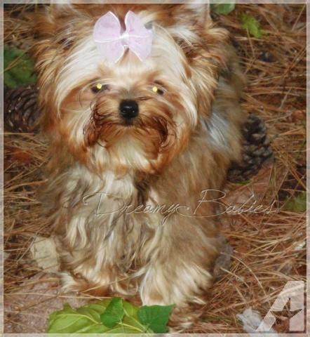 yorkie 5 months akc gorgeous babydoll yorkie 5 months for sale in pflugerville