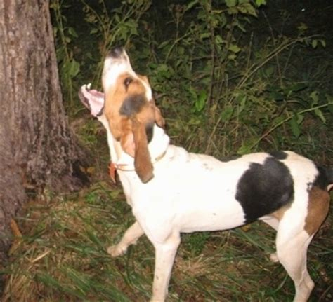 walker puppies treeing walker coonhound breed information and pictures