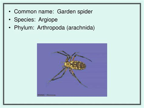 Garden Spider Family Name Ppt Comparing Animal Nervous Systems Powerpoint