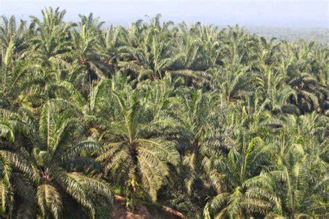 Minyak Kelapa Per Gram kelapa sawit harga emas indonesia