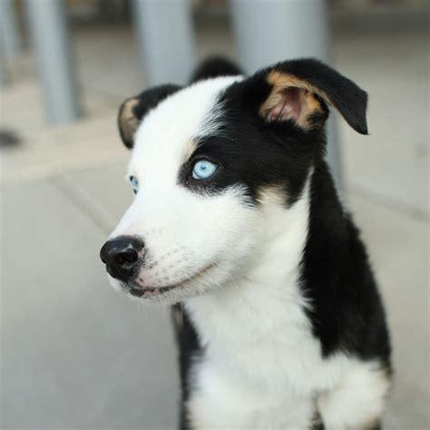 chihuahua husky mix puppies siberian husky chihuahua mix breed siberian husky sold images frompo