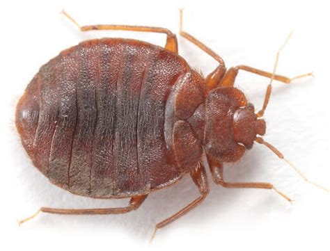 bed bug habitat what are bed bugs local pest control