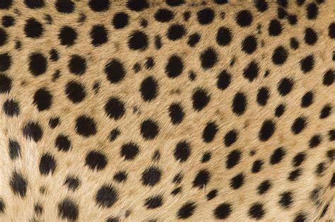 Cheetah Print Duvet I See Cheetah Spots Photograph By Ingo Arndt