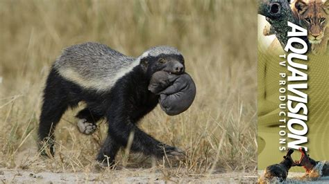 honey badger mom carrying newborn baby   den site hd stock footage youtube
