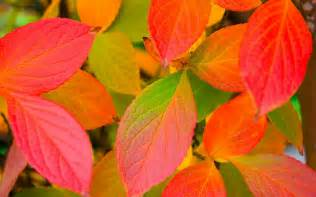 colorful leaves only nature beautiful autumn leaves wallpapers