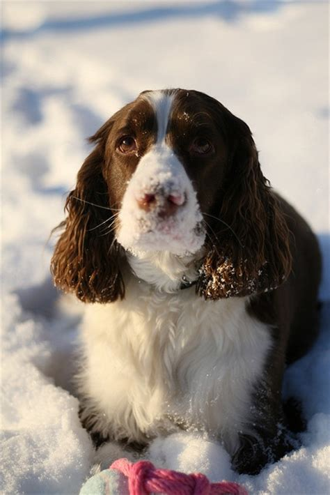 comfort spaniel 18 things all springer spaniel owners must never forget