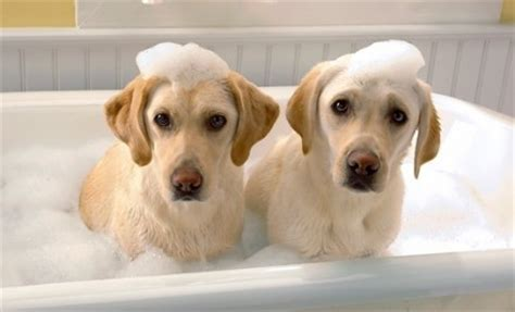 dog in a bathtub pet grooming more than just puppy pering blog