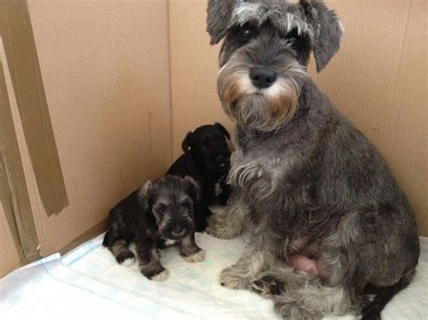 miniature puppies miniature schnauzer puppies glasgow lanarkshire pets4homes