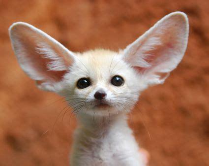 pet fox food fox diet   foxes eat