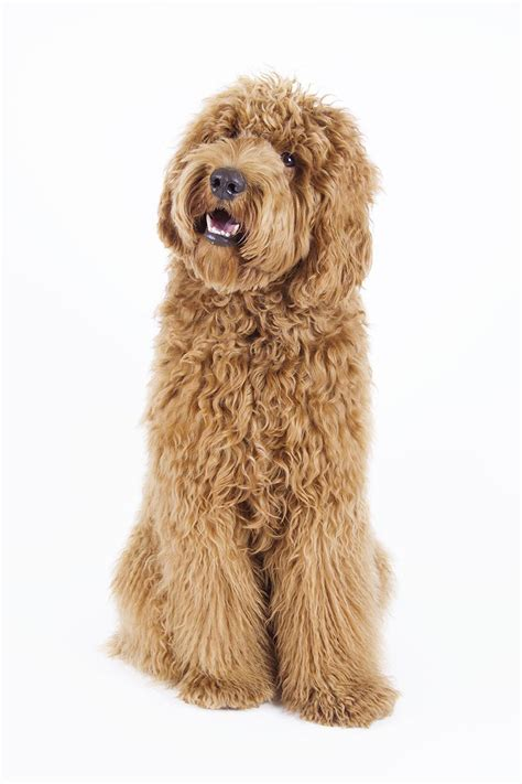 goldendoodle puppy uti labradoodle