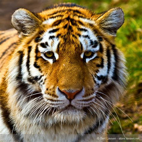Flying Tiger Store Animals Gert Lavsen Photography Store