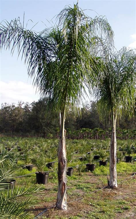 palm results palm tree image search results