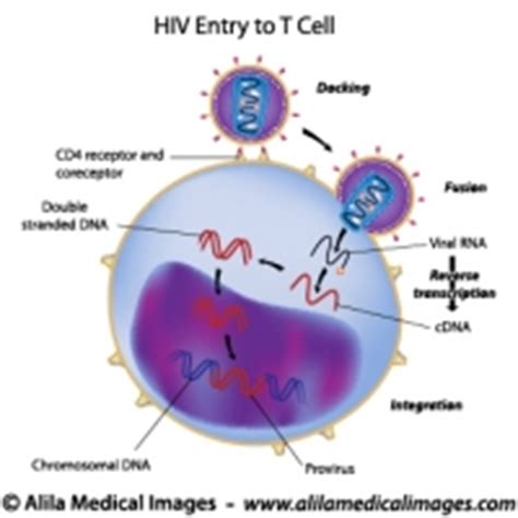 diagram of lymphocytes lymphocytes archives information illustrated
