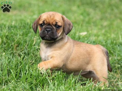 pug or puggle puggle puppy pugs puggles puggle puppies and puppys