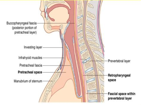 neck sectional anatomy cross sectional anatomy of the neck