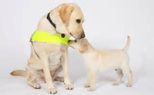 dogs for the blind the guide dogs for the blind association guide dogs