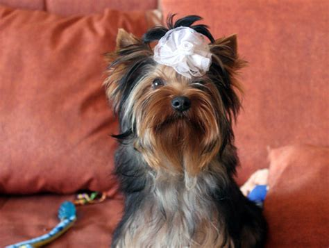 yorkie names teacup terrier names dogs our friends photo
