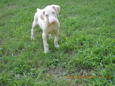 white doberman puppies white doberman pinscher puppies www imgkid the