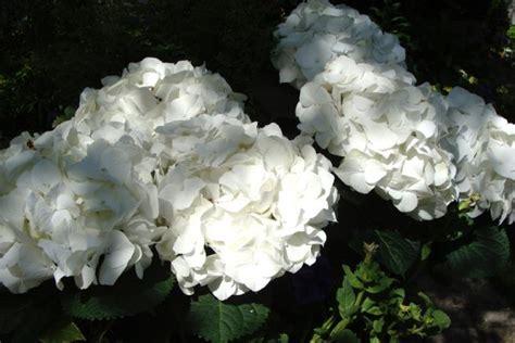 Pflege Hortensien Im Garten 4369 by Hortensien 187 Pflanzen Pflegen Schneiden Und Mehr