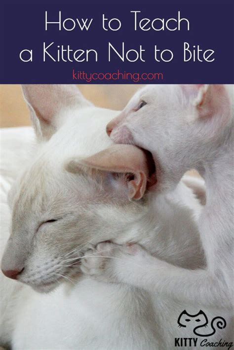how to not to bite how to teach a kitten not to bite feb 2018