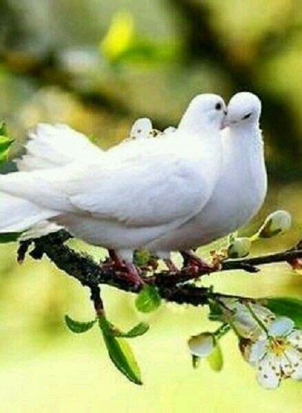 doves so much in love birds pinterest in love and love