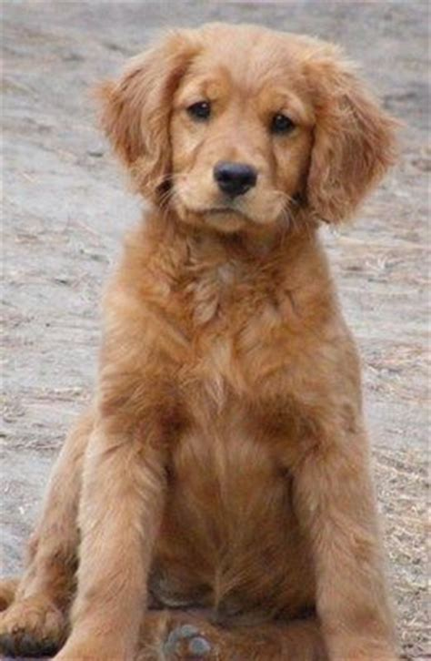 cocker spaniel golden retriever cross miniature golden retriever 24 vital facts and images