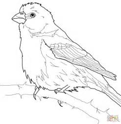 zebra finch coloring page house finch coloring page free printable coloring pages