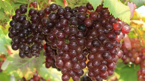 10 things you didn t know about grapes youtube
