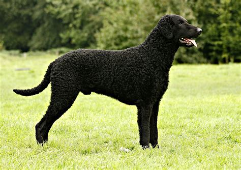 Curly-Coated Retriever Breed Guide - Learn about the Curly ...