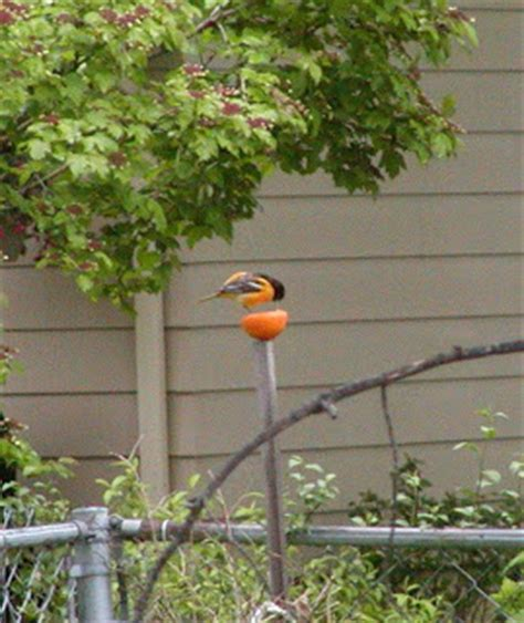 how to attract baltimore orioles to your backyard attracting and feeding birds in your yard the baltimore