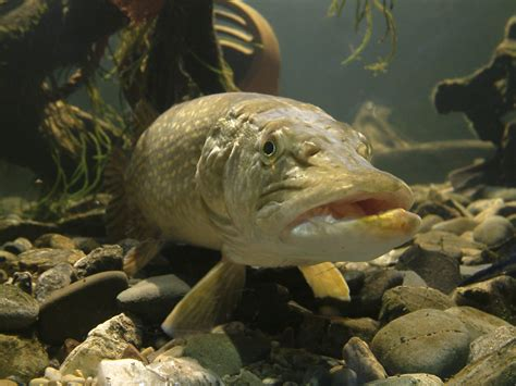 Pictures Of Pike Fish