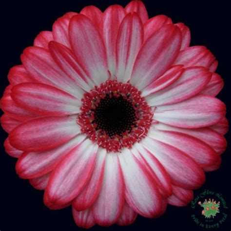 180 Sprei California Gerbera No 1 mini gerbera macy gerbera flowers and fillers