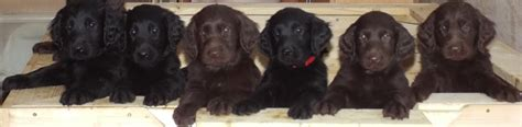 flat coated retriever puppy flat coated retriever breed information and images k9rl