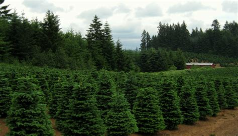 christmas tree farm near me tree farm near me fishwolfeboro