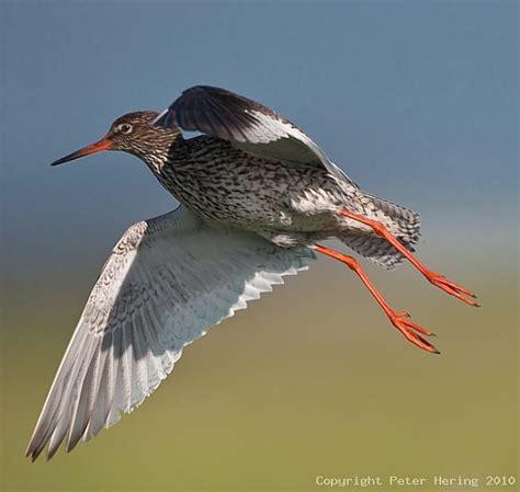 brutzeit vögel tabelle rotschenkel tringa totanus info a z die vogelarten