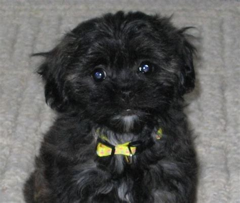 miniature poodle cross shih tzu 35 shih tzu cross breeds you to see to believe