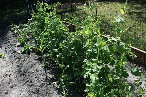 easy to grow bloominthyme easiest vegetables to grow bloominthyme