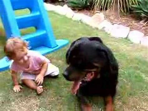 rottweiler to attack rottweiler attacks to defend his funnydog tv