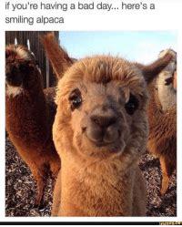 youre   bad day heres  smiling alpaca funnyce bad meme  meme