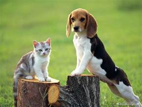australian shepherd e bambini beagle puppies dogs for pinterest