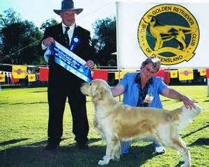 golden retrievers brisbane buy golden retriever brisbane photo