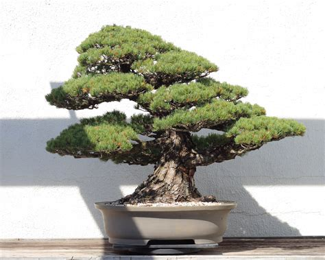 bonsai tree file japanese white pine bonsai 81 october 10 2008 jpg