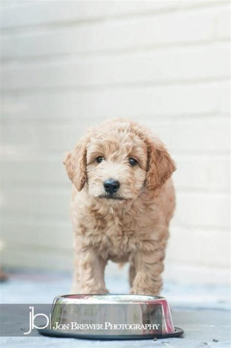 mini doodle indianapolis charles mini goldendoodle lucky