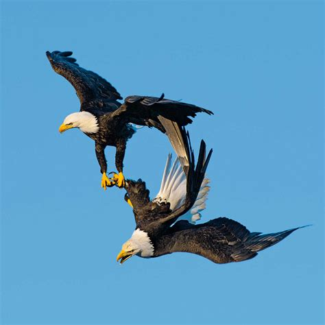 bald eagles mating for amorous bald eagles a spiral is a time