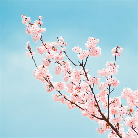 cherry tree branch cherry blossom tree branch painting foto 2017