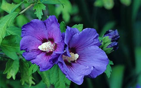 hibiscus syriacus blue bird 3363 how to grow hibiscus the telegraph