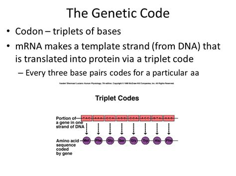 what is a template in dna protein synthesis ppt