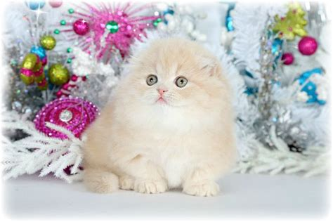 101 best teacup kittens images on