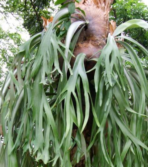 menanam  budidaya bunga tanduk rusa satu jam