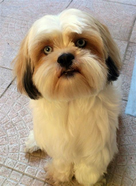 lhasa apso puppies 25 best ideas about lhasa apso on lhasa apso